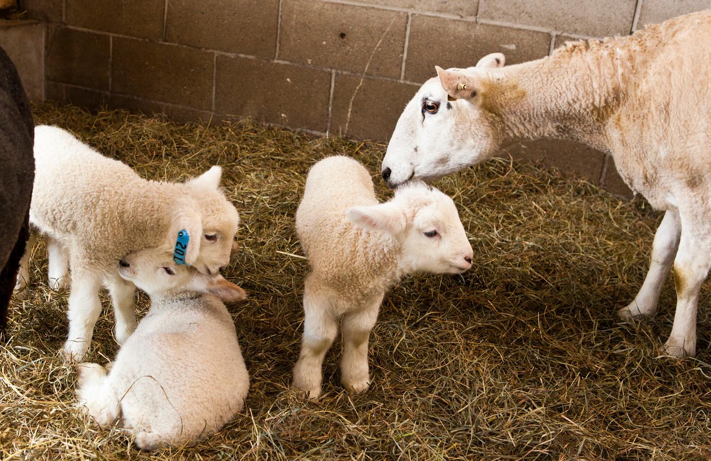 S12 Lambs-17
