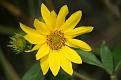 Woodland Sunflower #7