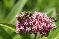 Bumblebee on Milkweed Flowers