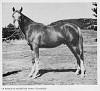 GAZYL #2820 (*Zarife x Gutne, by Bazleyd) 1944 chestnut stallion bred by Wayne Van Vleet/ Van Vleet Arabian Stud; sired 31 registered purebreds