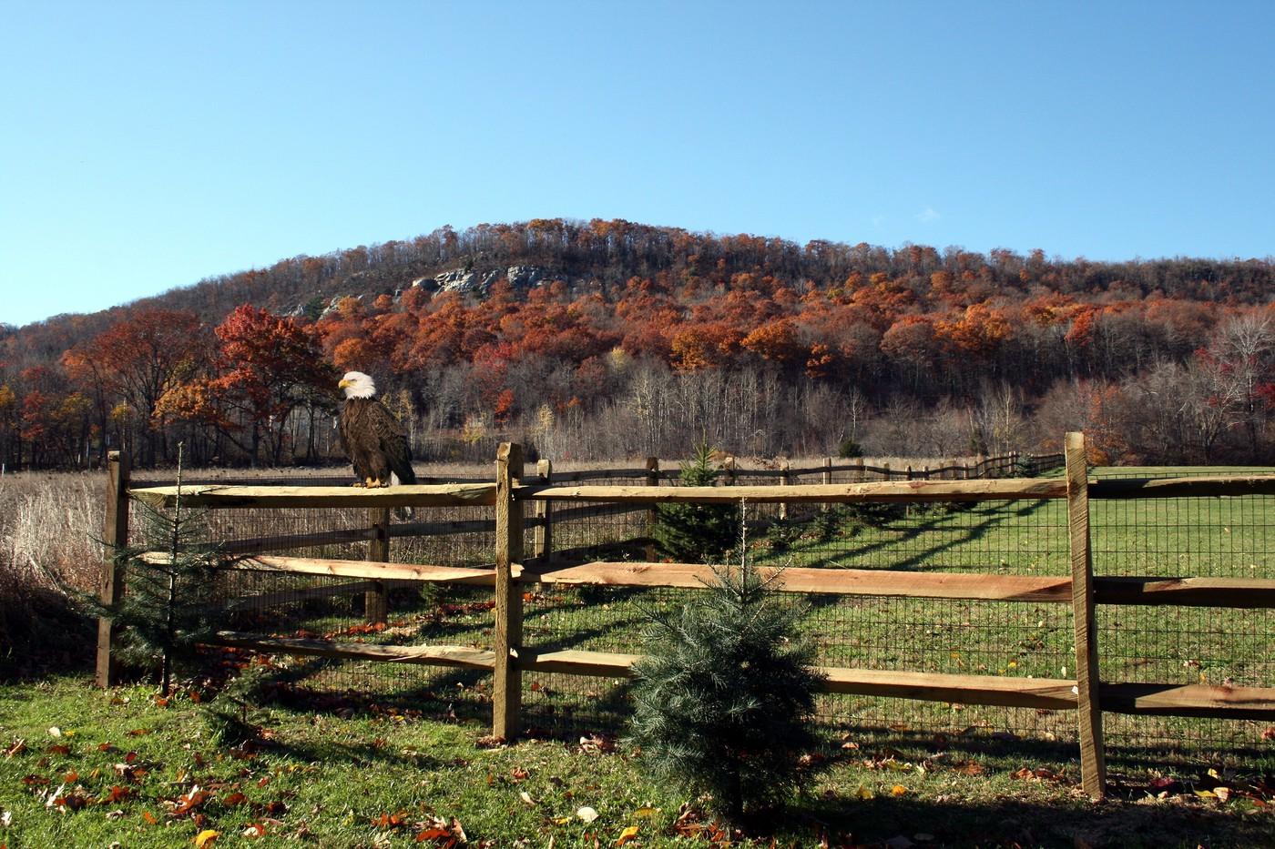 Bald Eagle on a Fence