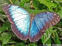 BlueMorphoButterfly001