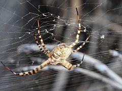DSCN2260 Garden Orb-Weaver Spider