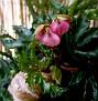 Begonia carolineifolia (1)