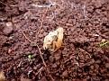 Σκορπιός - Mesobuthus gibbosus (1)