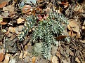 Euphorbia veneris   (12)