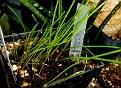 Lachenalia pallida  (1)