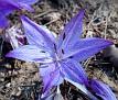 Colchicum macrophyllum  (2)