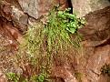 Asperula chlorantha (1)