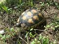 Χελώνα (2)