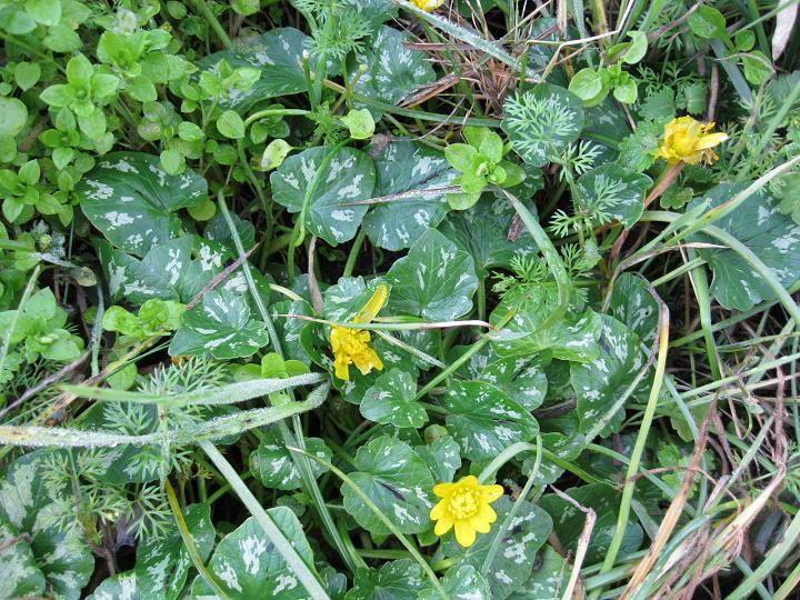 Ranunculus ficaria (5)