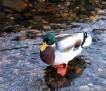 1217  Mallard Duck  13