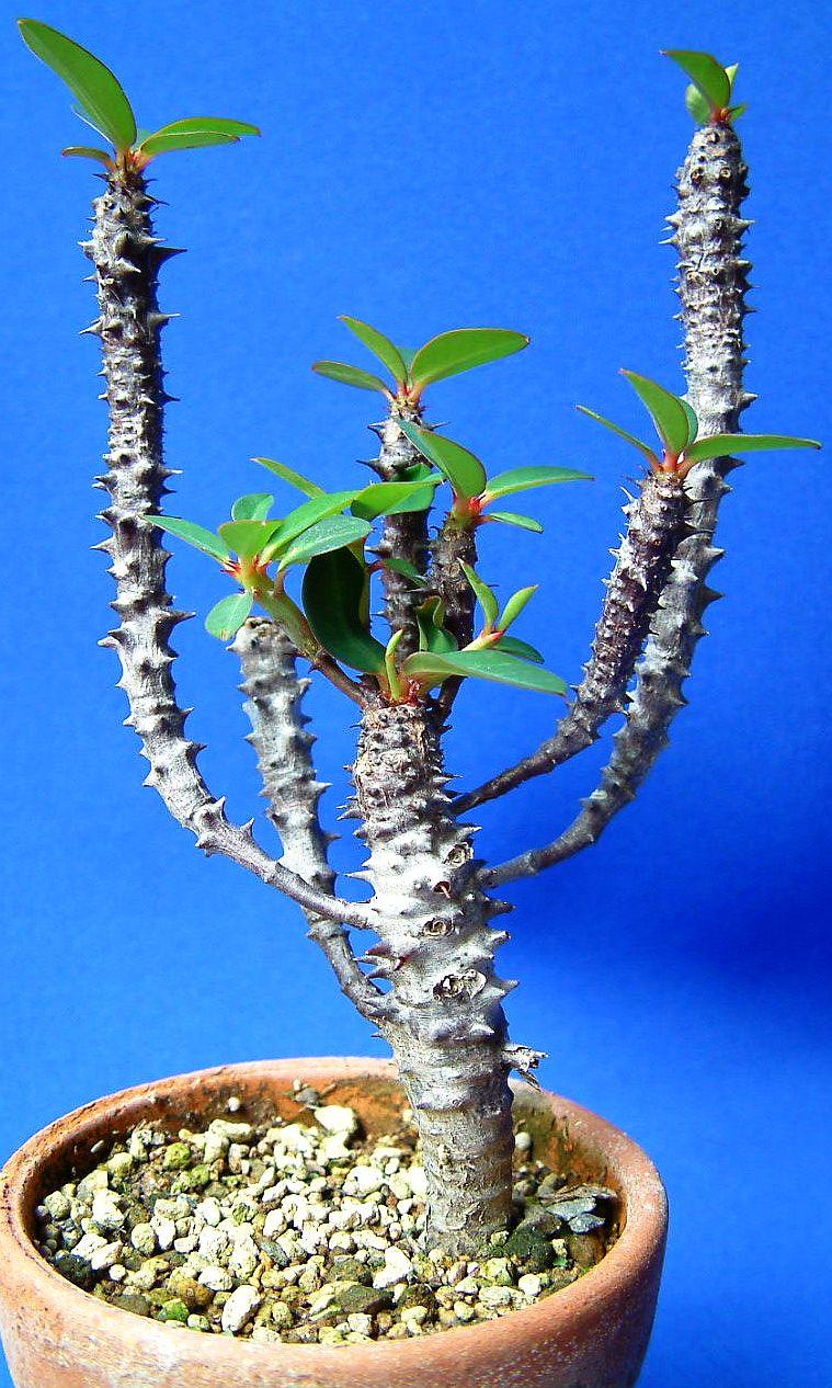 Euphorbia bulbispina (1)
