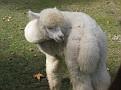 Taking Hiromi and Soji to visit the local Alpaca Farm!!!