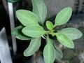 Idria columnaris