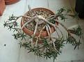 Euphorbia cylindrifolia ssp tuberifera