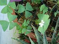 Oxalis Triangularis 'Fanny'