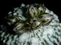 Turbinicarpus pseudopectinatus