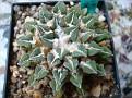 Ariocarpus kotschoubeyanus elephantidens