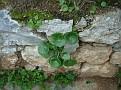 Umbilicus horizontalis