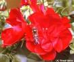 Pelargonium & Fly