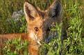 June Red Fox Series #25