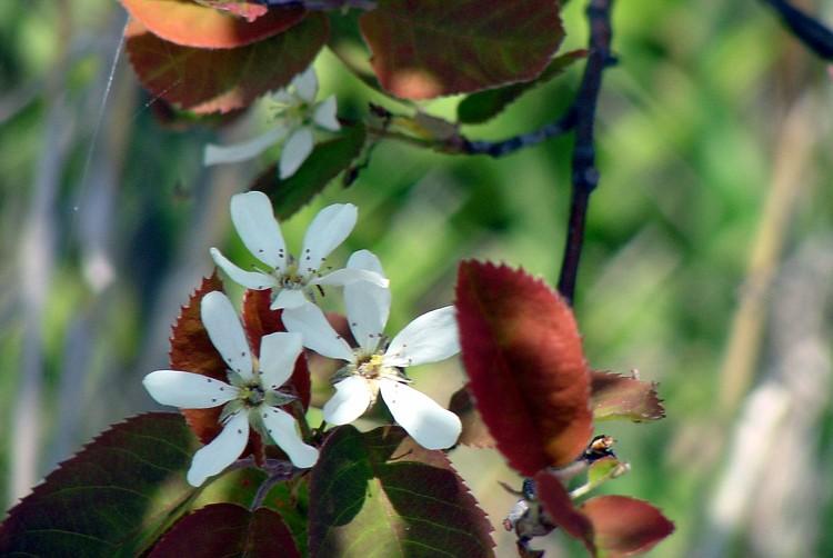 a-GM-flower