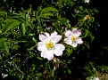 Rosa micrantha subsp  chionistrae (6)