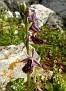 ophrys hybrid ferrum x mamosa ή ferrum x aesculapii (5)