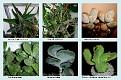 Crassulaceae  (8)