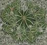 Aztekium hintonii cluster