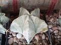 Astrophytum coahuilense  -Lerdo Dur