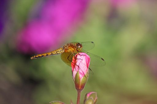 Bandwinged Meadowhawk #13