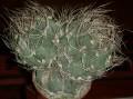 Astrophytum capricorne v.senile