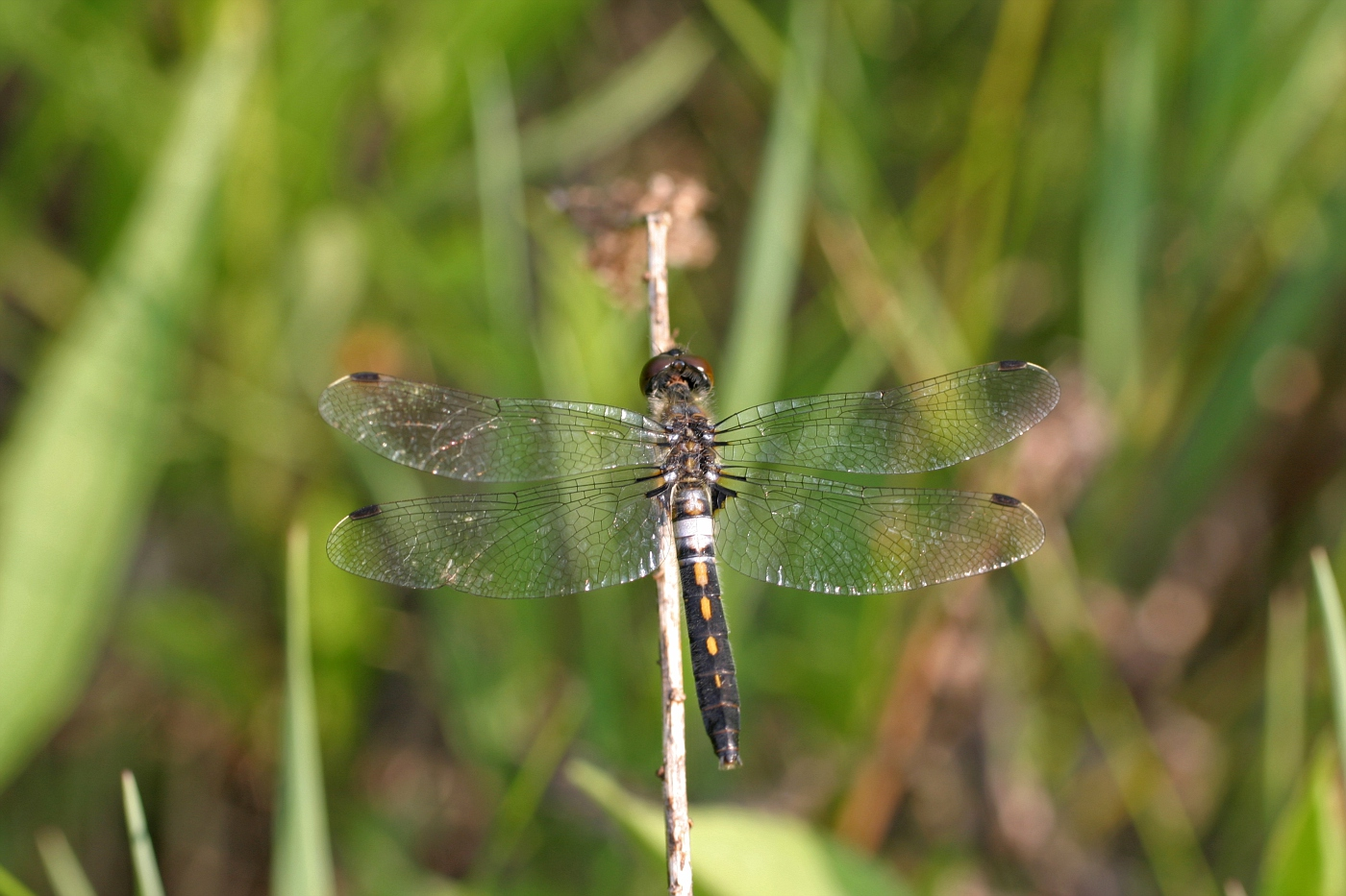 Frosted Whiteface Dragonfly - Female