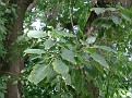 Phytolacca dioica (5)
