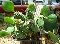 Monadenium ritchei var marsabitensis