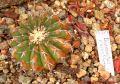 Discocactus placentiformis