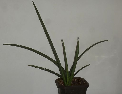 Sansevieria canaliculata (1)