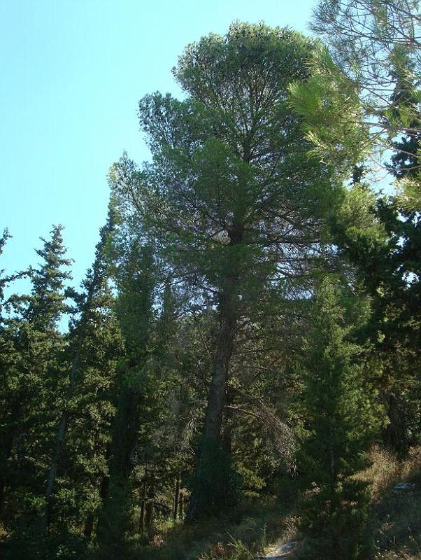 Pinus pinea - Κουκουναριά