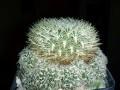 Rebutia mentosa 'albissima' ( Sulcorebutia albissima )