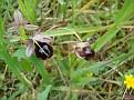 Ophrys ferrum - equinum (5)