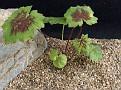 Pelargonium spinnolosum