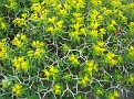 Euphorbia acanthothamnos (11)