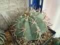 Melocactus azureus