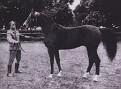 *BASK++ #25460 (Witraz x Balalajka, by Amurath-Sahib) 1956 bay stallion imported to the US from Poland 1963 by Lasma; sired 1047 registered purebreds