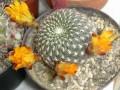 Rebutia arenacea ( Sulcorebutia arenacea )